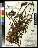 view Jagera pseudorhus (A. Rich.) Radlk. digital asset number 1