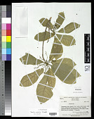 view Sterculia edelfeltii F. Muell. digital asset number 1