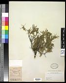 view Sanguisorba spinosus Bertol. digital asset number 1