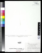 view Acrochaetium flexuosum var. carolinensis Aziz digital asset number 1