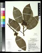 view Ficus glandifera Summerh. digital asset number 1