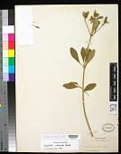 view Euphorbia colletioides Benth. digital asset number 1