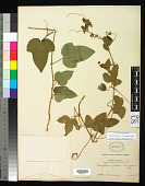 view Passiflora foetida var. lanuginosa Killip digital asset number 1