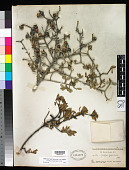 view Lindleyella mespiloides (Kunth) Rydb. digital asset number 1