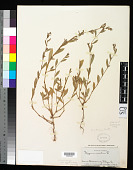 view Polygonum rubescens Small digital asset number 1