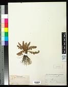 view Notholaena brachypus (Kunze) J. Sm. digital asset number 1