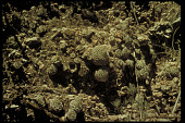 view Strombocactus disciformis digital asset number 1