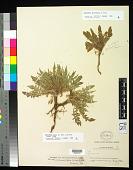 view Oenothera flava (A. Nelson) Garrett digital asset number 1