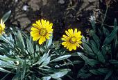 view Mesembryanthemum sp. digital asset number 1