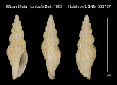 view Mitra (Thala) torticula Dall, 1889 digital asset number 1