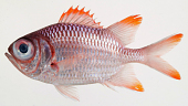 view Myripristis violacea digital asset number 1