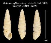 view Bulimulus (Naesiotus) reibischii Dall, 1895 digital asset number 1