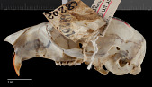 view Sciurus aureogaster nigrescens digital asset number 1