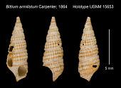view Bittium armillatum Carpenter, 1864 digital asset number 1