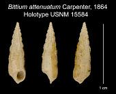 view Bittium attenuatum Carpenter, 1864 digital asset number 1