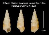 view Bittium filosum esuriens Carpenter, 1864 digital asset number 1