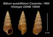 view Bittium quadrifilatum Carpenter, 1864 digital asset number 1
