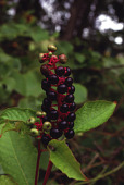 view Phytolacca americana L. digital asset number 1