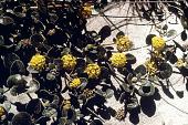 view Abronia latifolia Eschsch. digital asset number 1