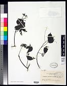 view Cayratia palauana (Hosok.) Suess. digital asset number 1