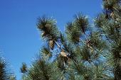 view Pinus coulteri Lamb. ex D. Don digital asset number 1