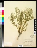 view Lepidium scopulorum M.E. Jones ex B.L. Rob. digital asset number 1