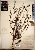 view Penstemon heterophyllus Lindl. digital asset number 1