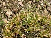 view Nassella nardoides (Phil.) Barkworth digital asset number 1