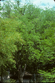 view Celtis laevigata Willd. digital asset number 1