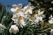 view Narcissus sp. digital asset number 1
