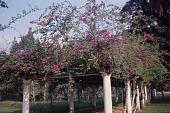 view Bougainvillea glabra Choisy digital asset number 1