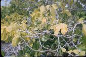 view Pisonia grandis R. Br. digital asset number 1