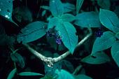 view Streptocarpus glandulosissimus Engl. digital asset number 1