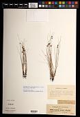 view Cyperus pauper Hochst. ex A. Rich. digital asset number 1
