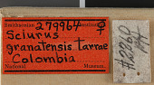 view Sciurus granatensis tarrae Hershkovitz, 1947 digital asset number 1