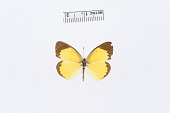 view Eurema lisa f. immaculata Whittaker & Stallings, 1944 digital asset number 1