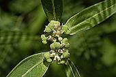 view Euphorbia cyathophora Murray digital asset number 1