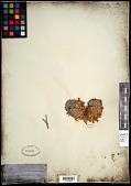 view Paronychia sessiliflora Nutt. digital asset number 1
