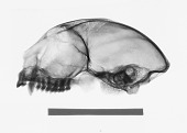 view Aotus lemurinus griseimembra digital asset number 1