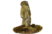 view Columbian Ground Squirrel digital asset number 1