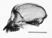 view Sapajus macrocephalus digital asset number 1