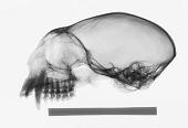 view Leontopithecus chrysomelas digital asset number 1