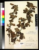 view Ribes malvaceum var. viridifolium Abrams digital asset number 1