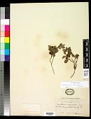 view Gaultheria humifusa (Graham) Rydb. digital asset number 1
