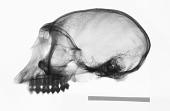 view Piliocolobus badius temminckii digital asset number 1