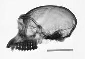 view Rhinopithecus roxellana roxellana digital asset number 1