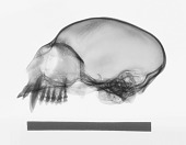 view Saguinus oedipus digital asset number 1
