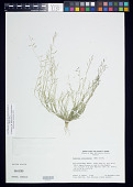 view Bouteloua aristidoides (Kunth) Griseb. digital asset number 1