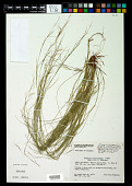 view Aristida portoricensis Pilg. in Urb. digital asset number 1