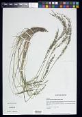 view Blepharoneuron tricholepis (Torr.) Nash digital asset number 1
